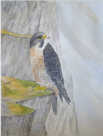 watercolour peregrine falcon