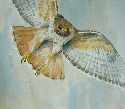 watercolour painting, Redtail
