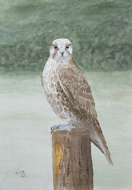 watercolour painting, Saker Falcon