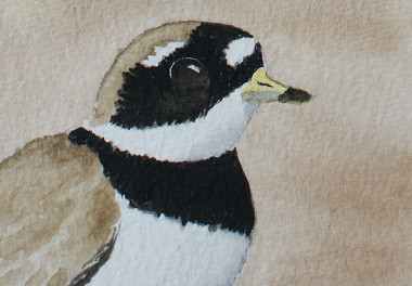 watercolour painting, Ringed Plover